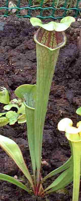 fleischfressende pflanzen im b ro. Black Bedroom Furniture Sets. Home Design Ideas